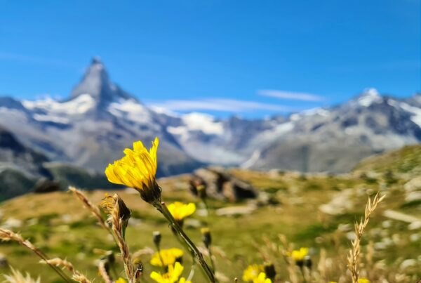 yellow flower in front of snow covered mountain during daytime
